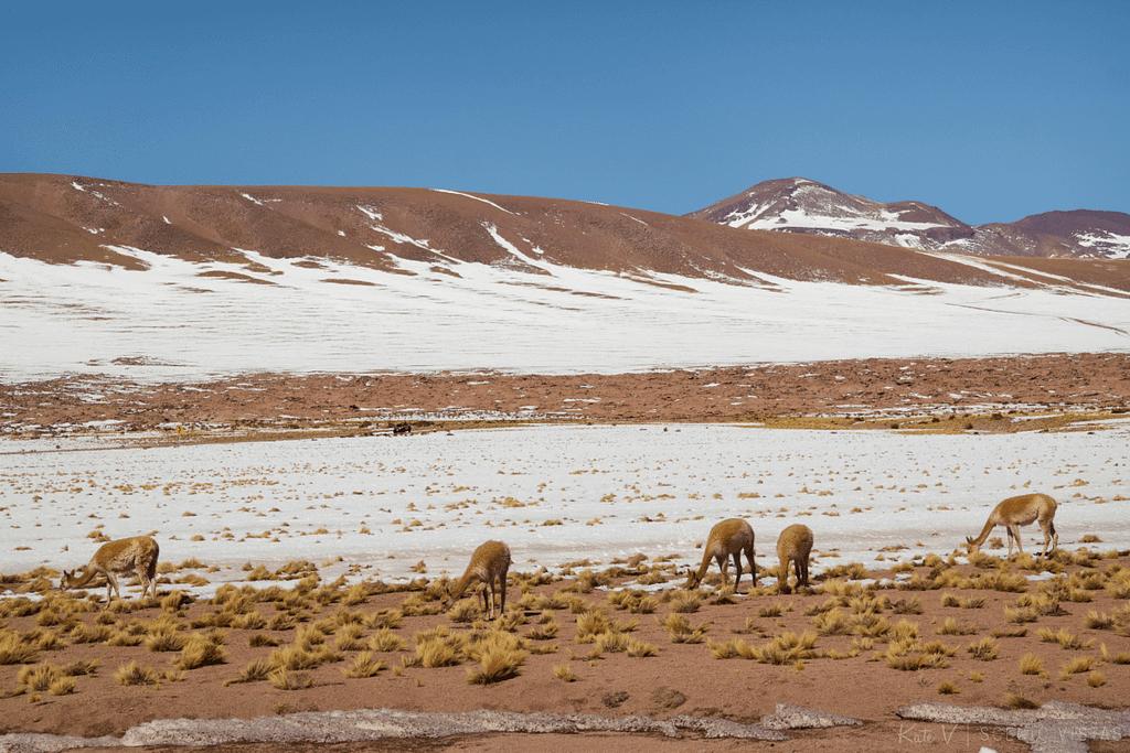 Vicuñas grazing in the Lagunas Altiplanicas in the Atacama.
