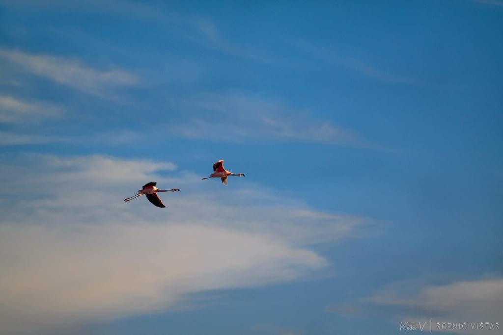 Pink flamingos take flight at Laguna Chaxa.