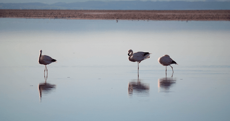 Flamingoes stand in the water at sunset in Laguna Chaxa.