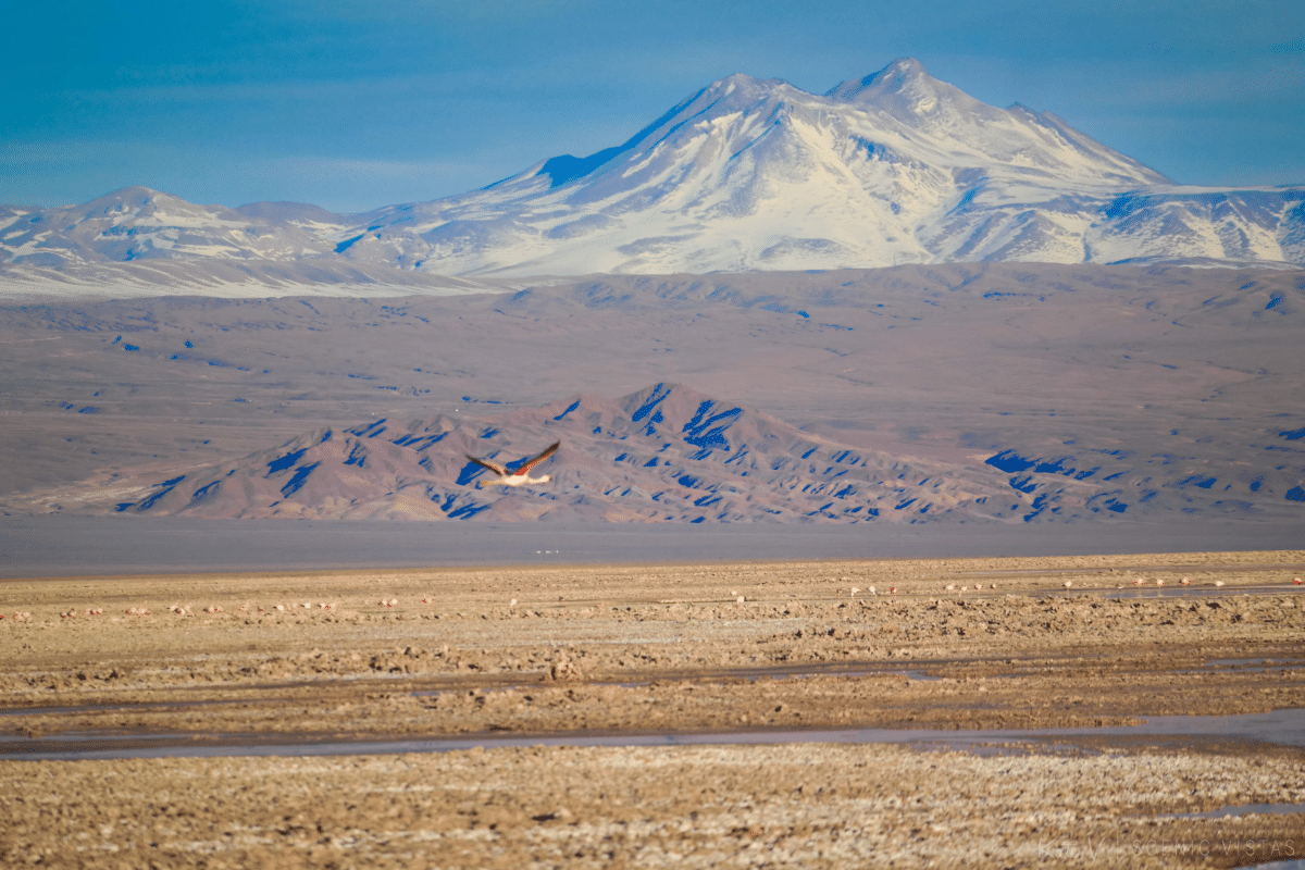 Pink flamingo flies in front of the mountains at Laguna Chaxa.