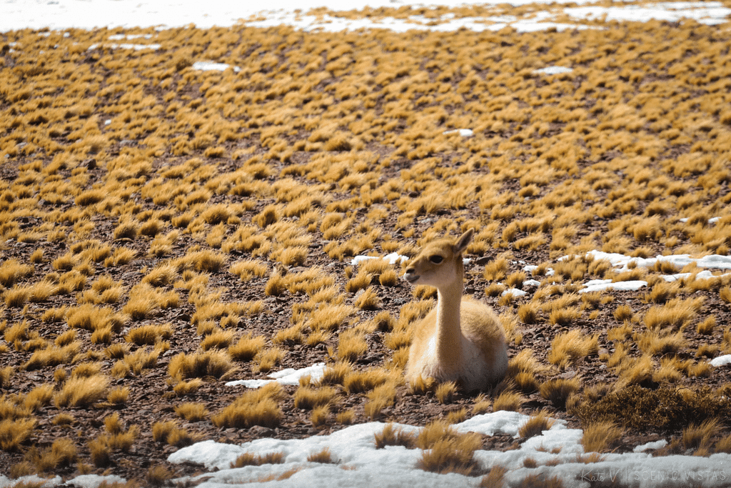 Vicuña sitting in the grass in the Lagunas Altiplanicas in the Atacama.